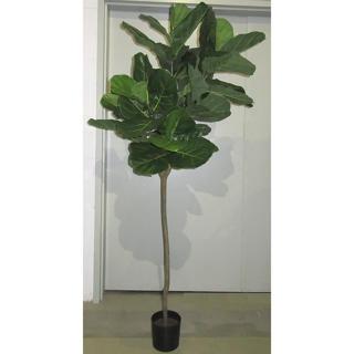 Ficus Lirata 7 pi
